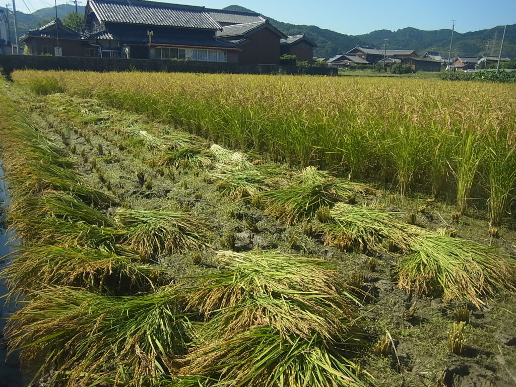 手刈りで稲の収穫。