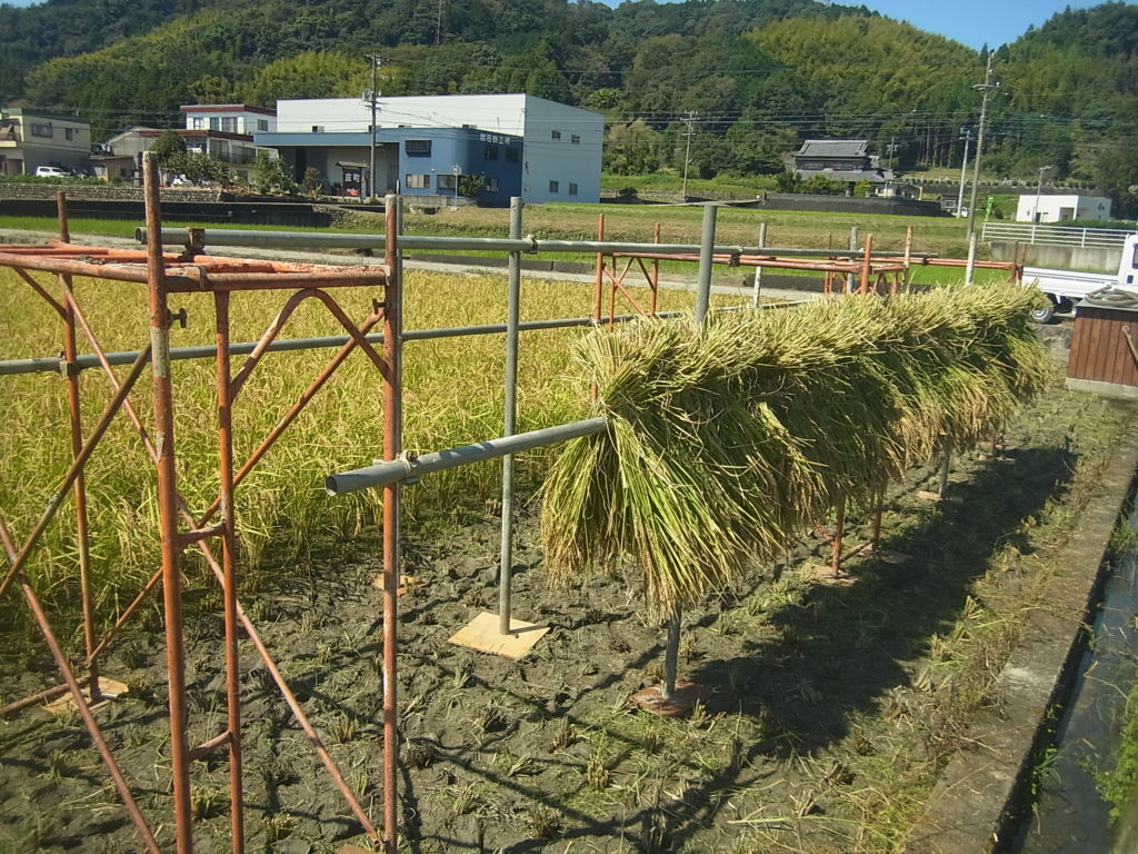 稲の束をハサがけしていく。