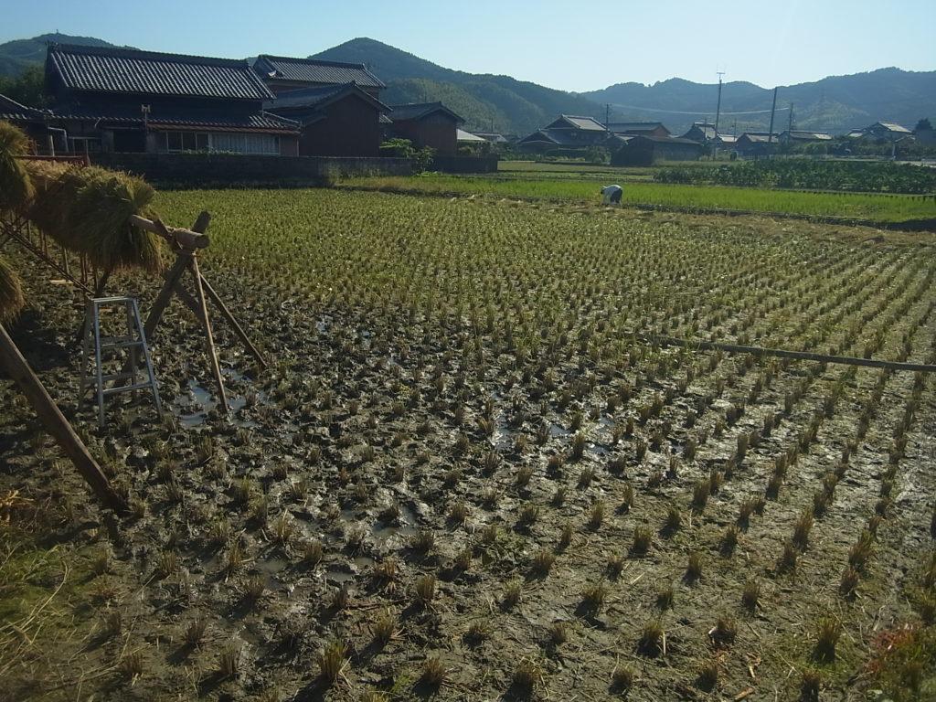 最後の稲を刈り終わる。