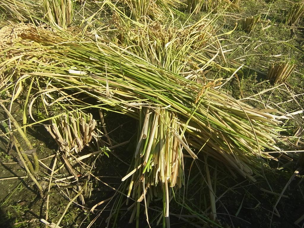 稲の束をクロスさせる。