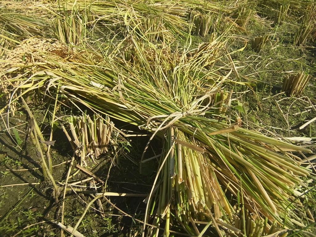 稲の束を麻ひもで縛る。