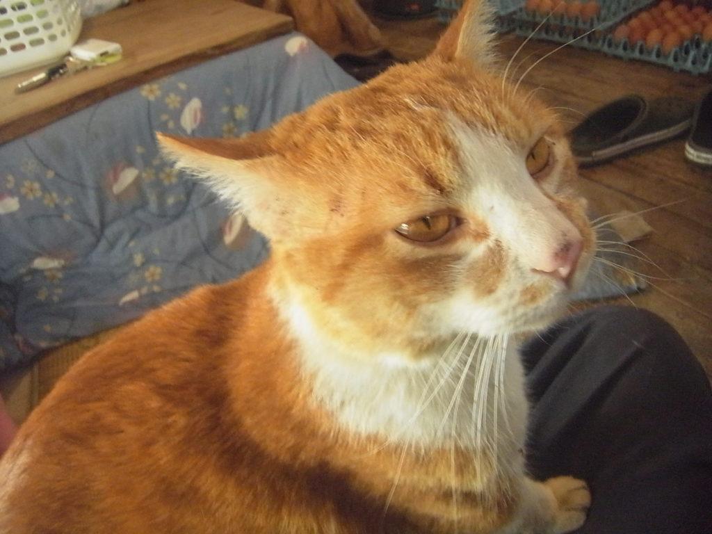 膝の上に乗る茶トラ白猫。