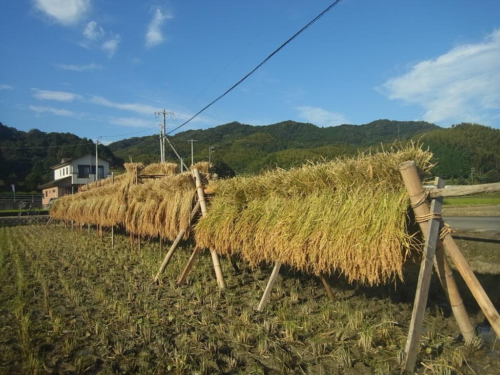 全ての稲をハサにかけ終わる。