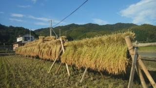昔ながらのお米作り。