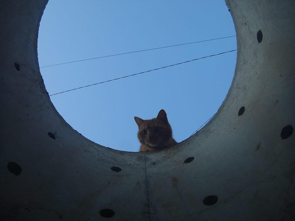 井戸側を除く茶トラ猫。