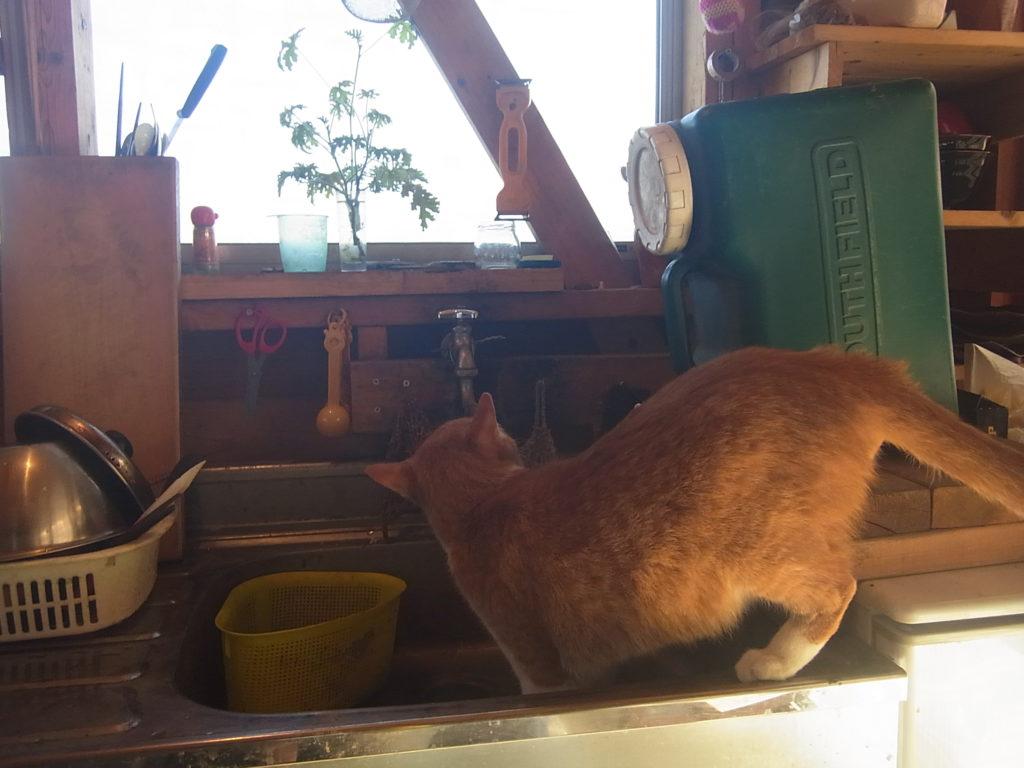 蛇口から水を飲む茶トラ白猫。
