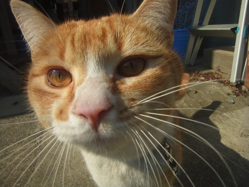 茶トラ白猫のだいちゃんのアップ。