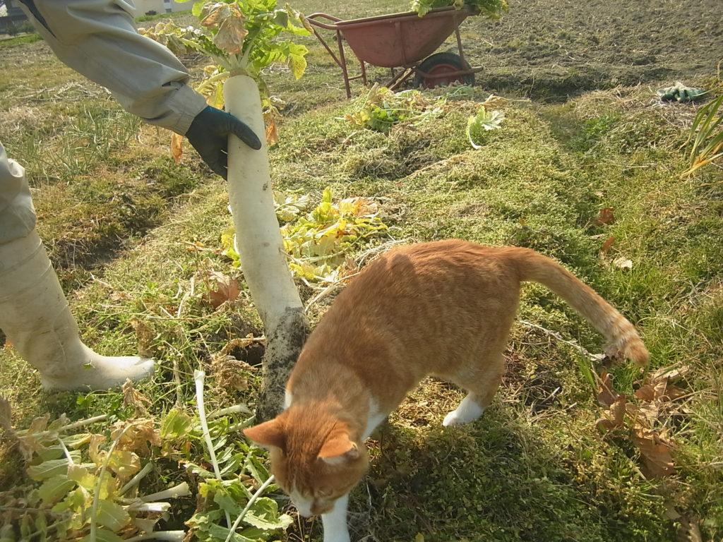 畑で、収穫の手伝いをする猫。
