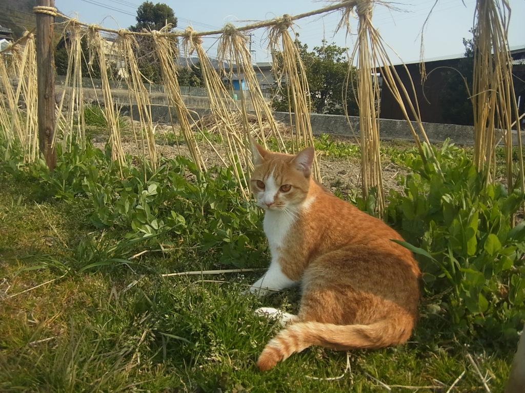 畑の絹さやの前で休む茶トラ猫。