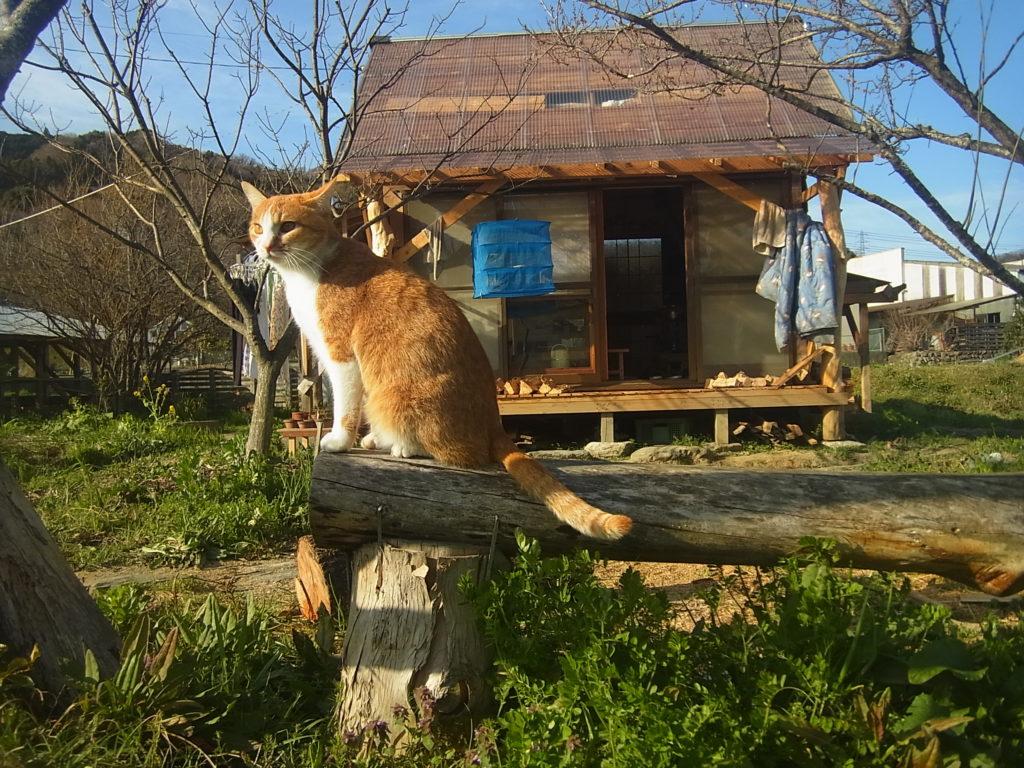 スモールハウスをバックに座る茶トラ白猫のぢん。