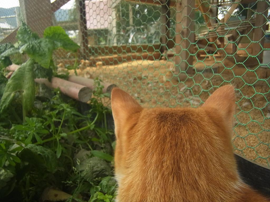 ヒヨコが気になる茶トラ白猫のぢん。