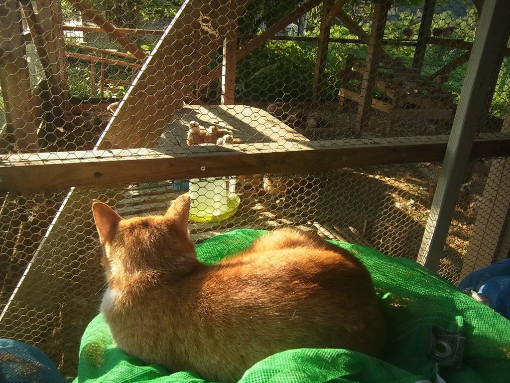 ヒヨコの番をする茶トラ白猫のぢん。