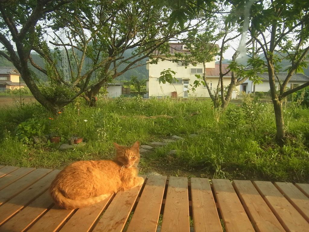 縁側にいる茶トラ猫。