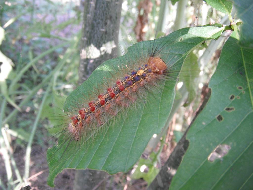 マイマイガの幼虫(毛虫)。