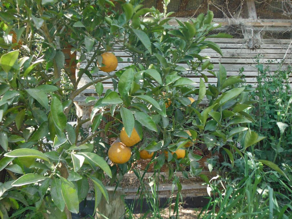 甘夏の収穫。