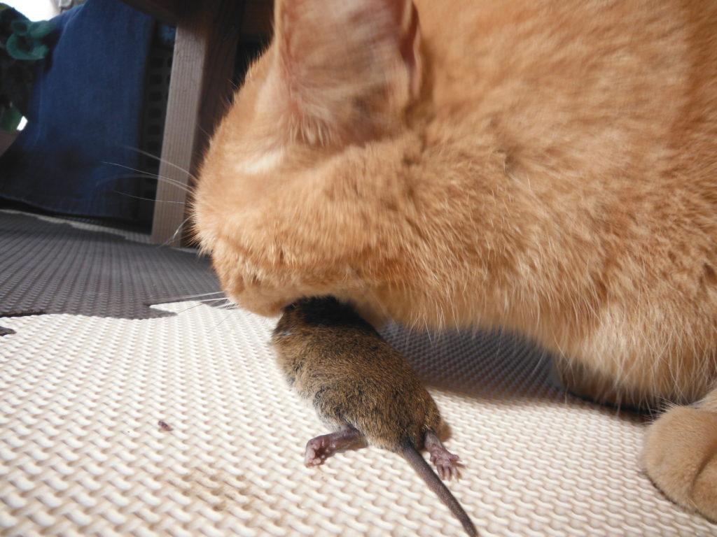 猫が、ネズミを捕まえてきた。