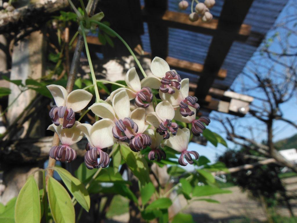 5葉アケビの花。