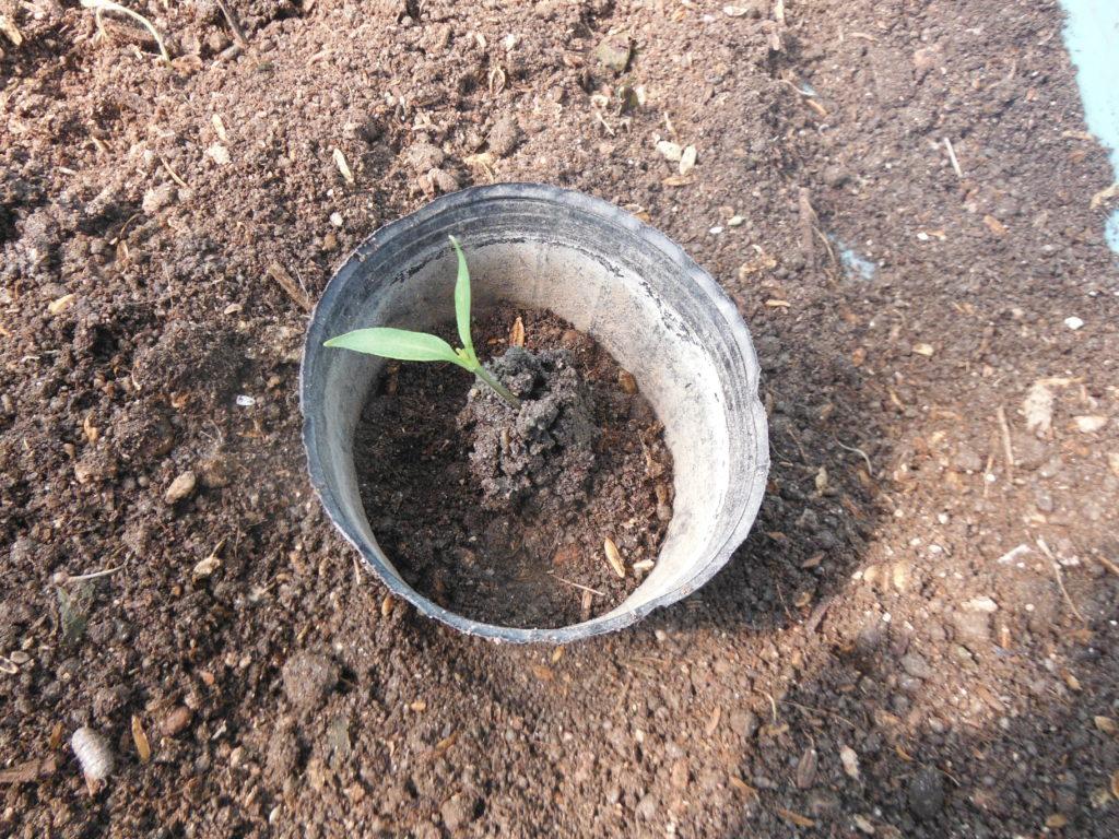 ポットに一個ずつ苗を移す。