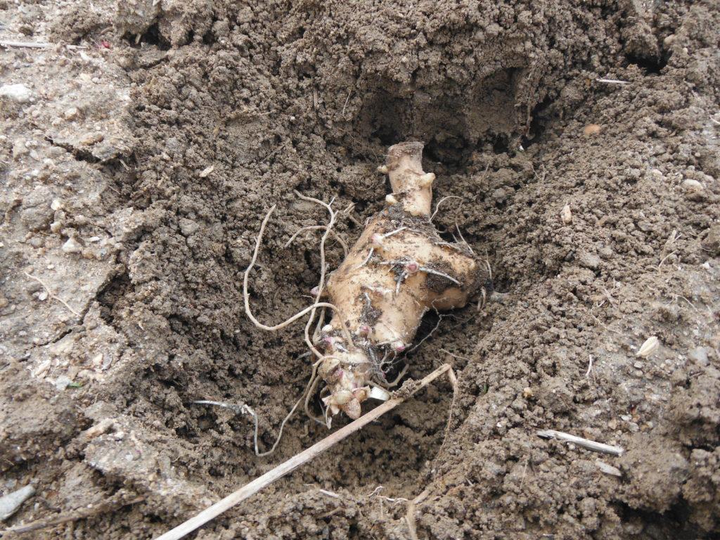 菊芋の植え付け。
