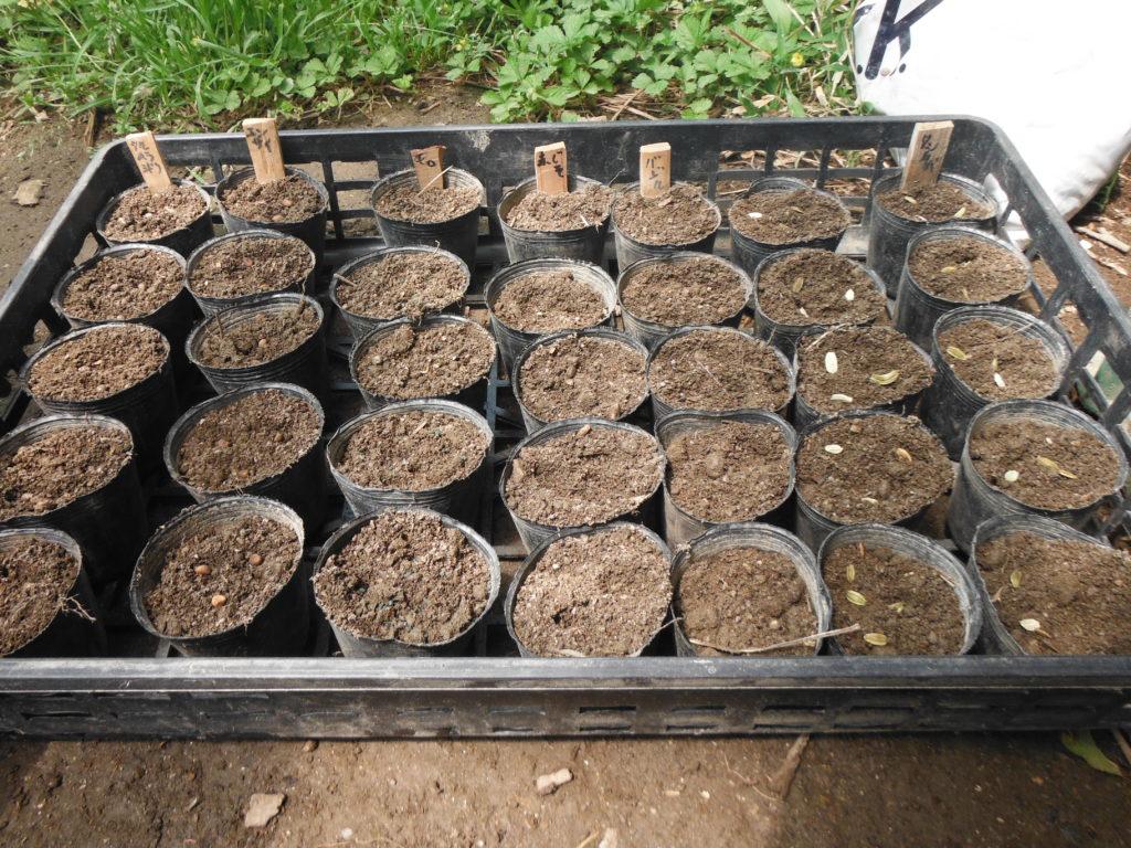 ツルムラサキ、エンサイなどを播種。