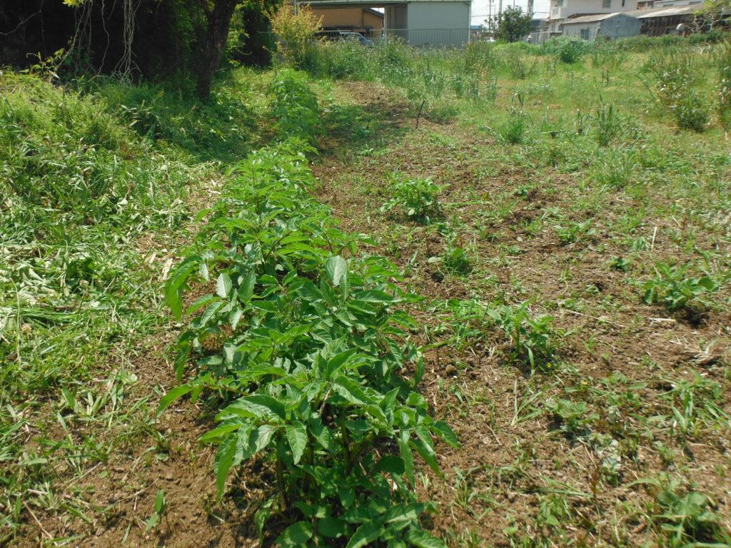 ジャガイモの芽かきをし、土寄せする。