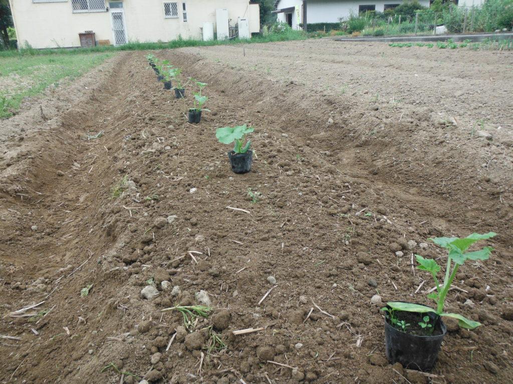 ズッキーニの定植。