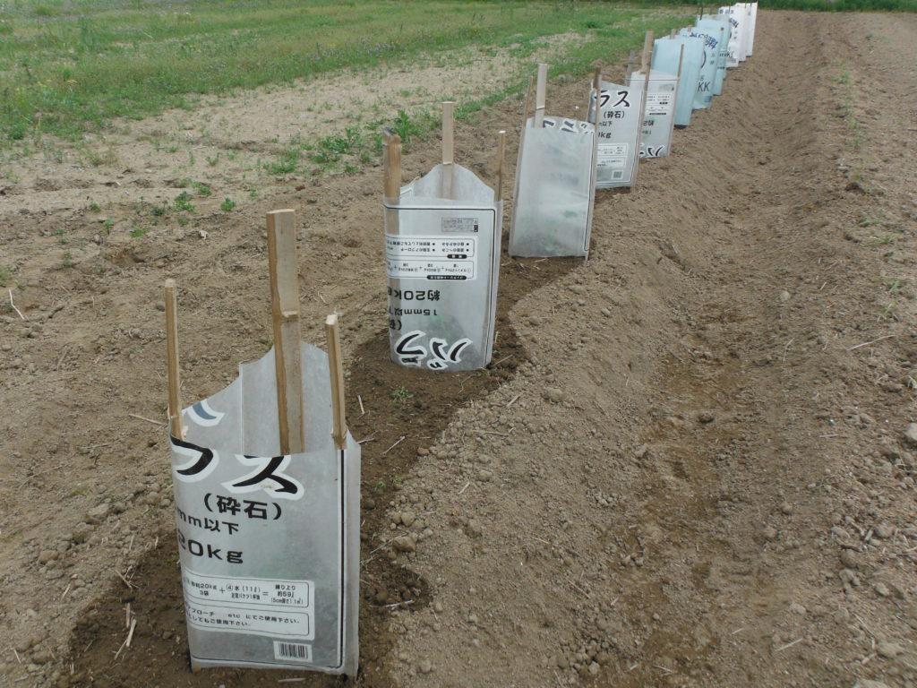定植した苗を袋で囲う。