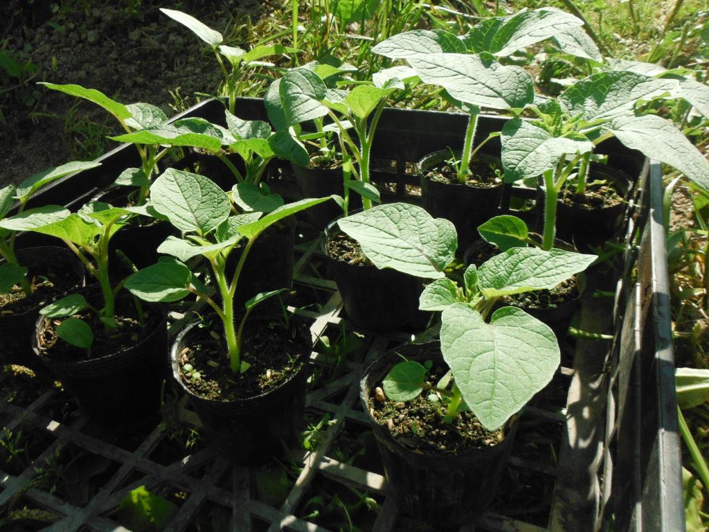食用ホオズキの苗、定植。