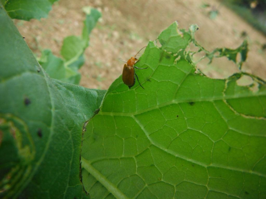 ウリハムシ対策~無農薬栽培で、有効な方法~