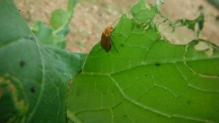ウリハムシ対策~無農薬栽培で、できる~