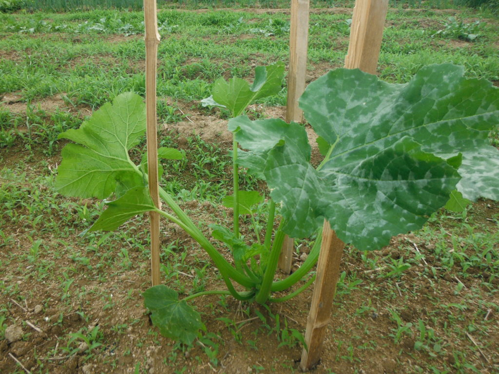 無農薬栽培でも元気に育つズッキーニ。