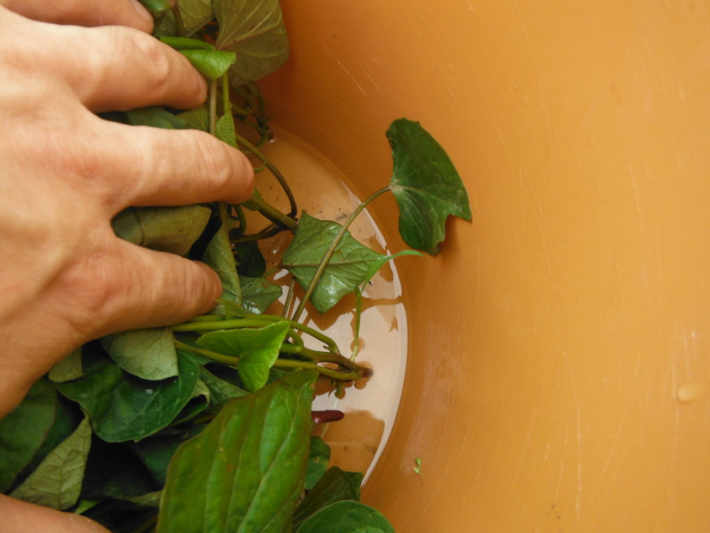 サツマイモの苗を発根させる。