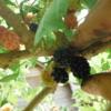 桑の実(マルベリー)の収穫。