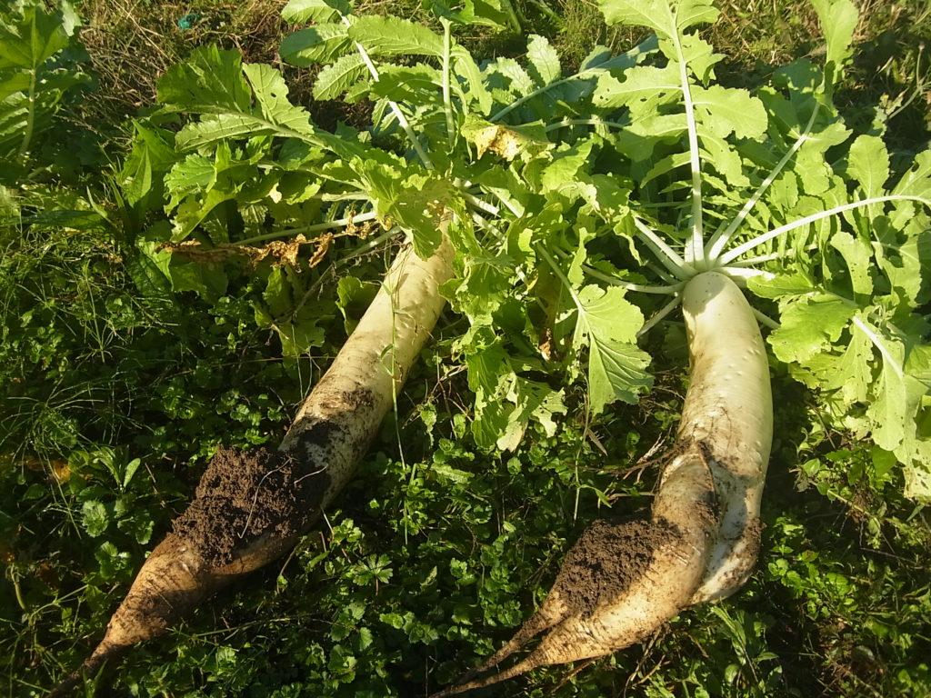 大根の収穫。