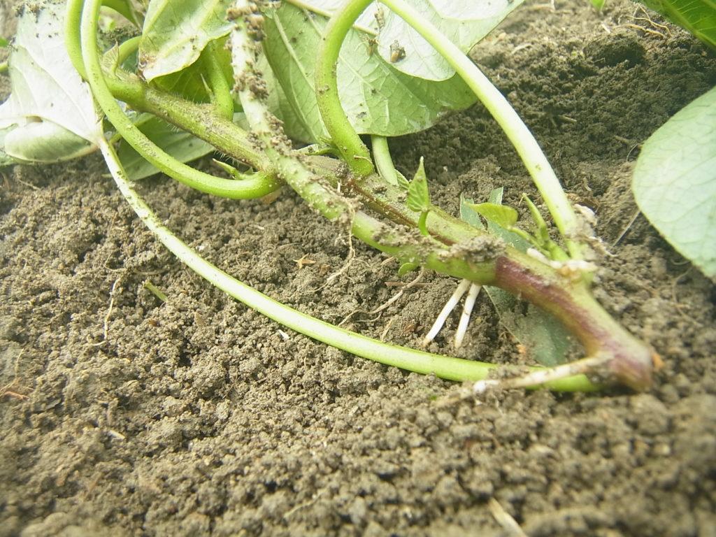 サツマイモの苗の発根した様子。