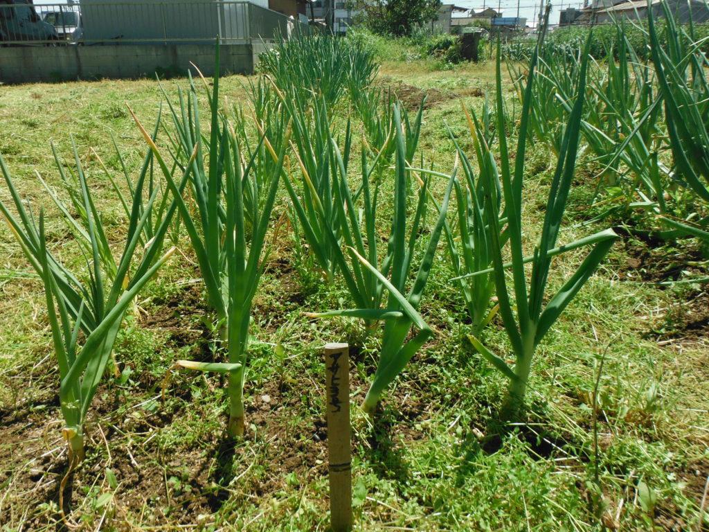 玉ネギの除草。