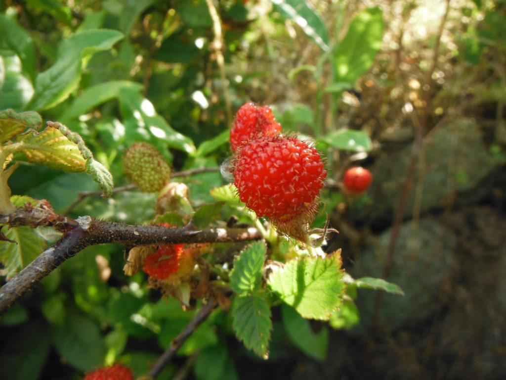 自生してる草イチゴの果実。