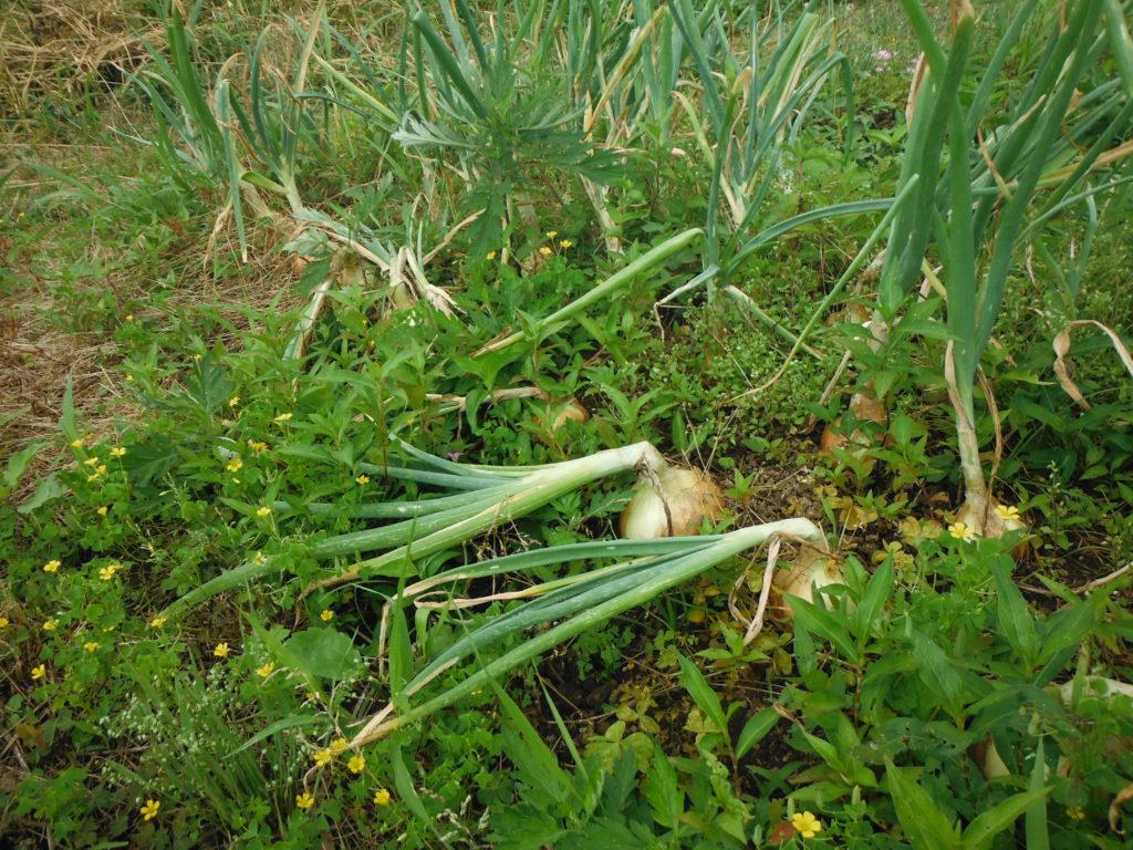 玉ねぎの収穫時期。