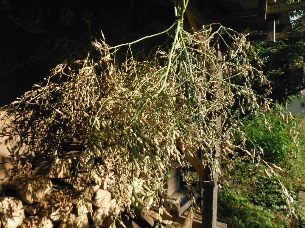 アブラナ科の株を軒下に吊るして乾燥。