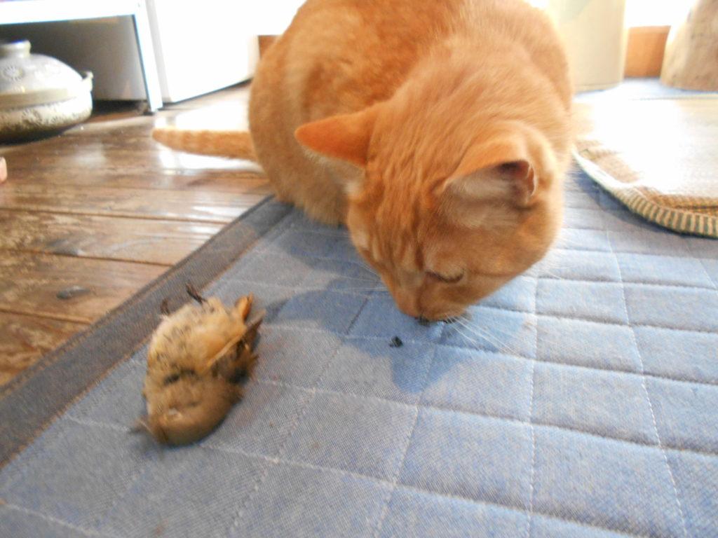 鳥を捕まえてきた猫。