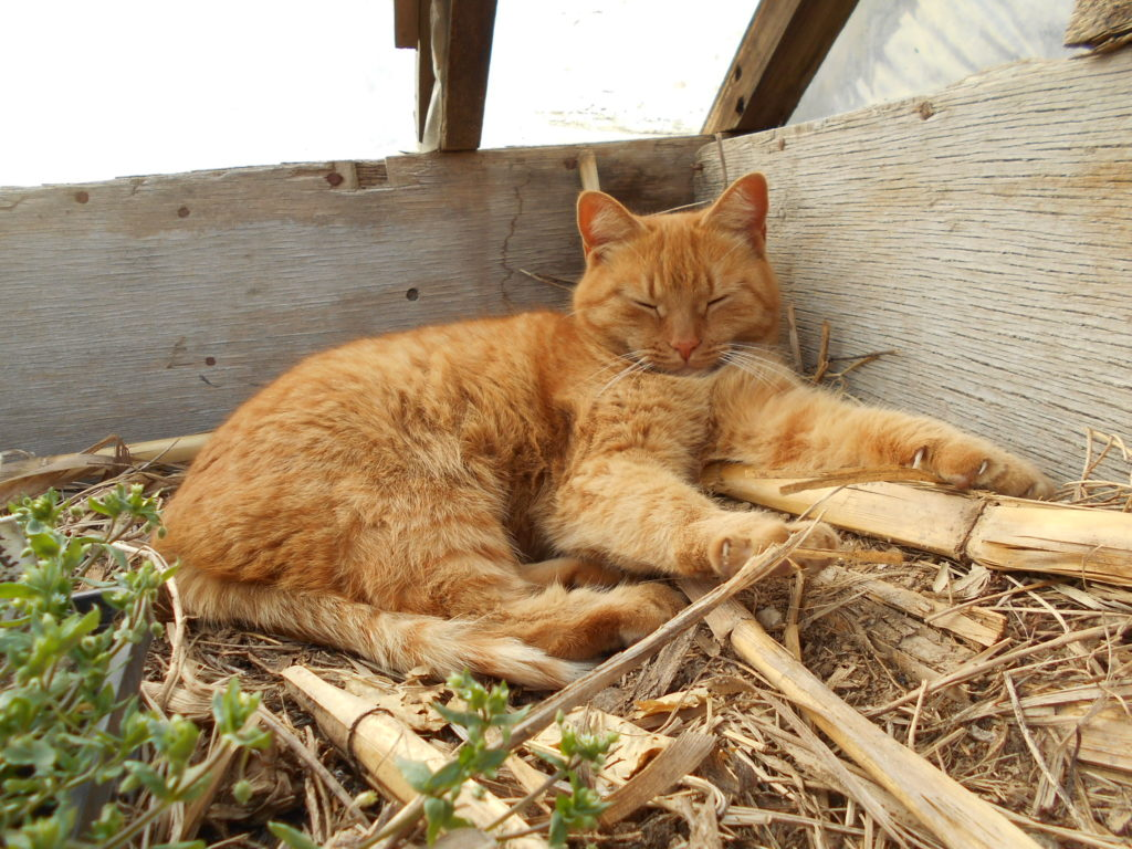 温床ハウスで、お昼寝中の猫。