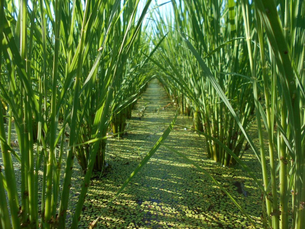 除草が成功した田んぼの様子。