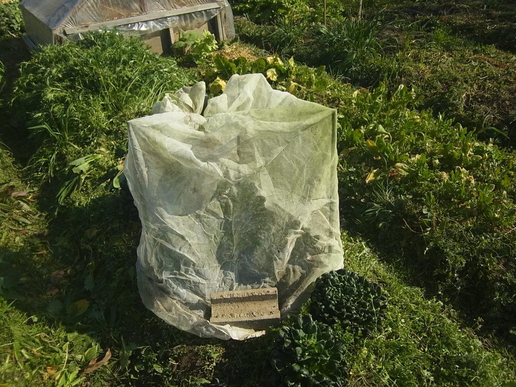防虫網をかけてアブラナ科を囲う。