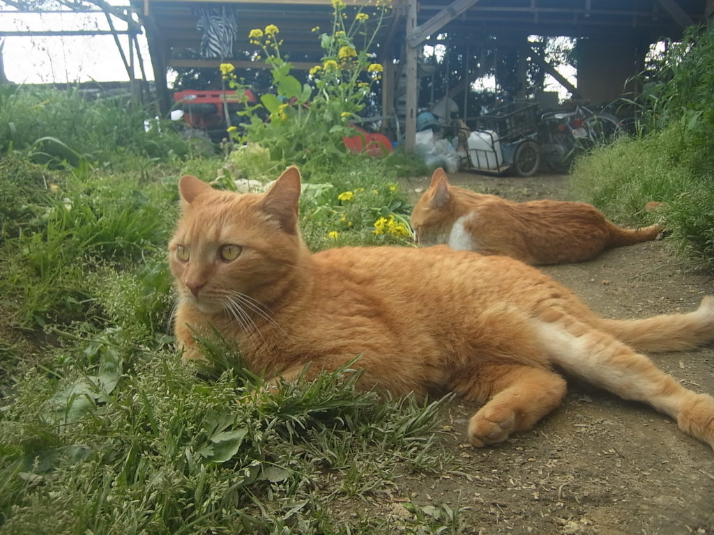 庭で寝転ぶ猫2匹。