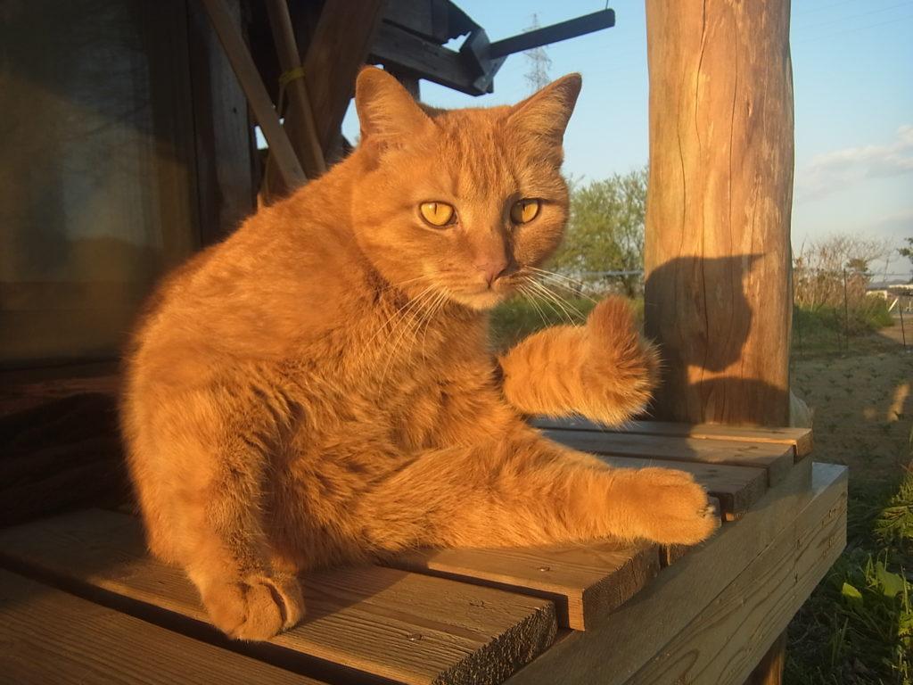縁側で、茶トラ猫休憩中。