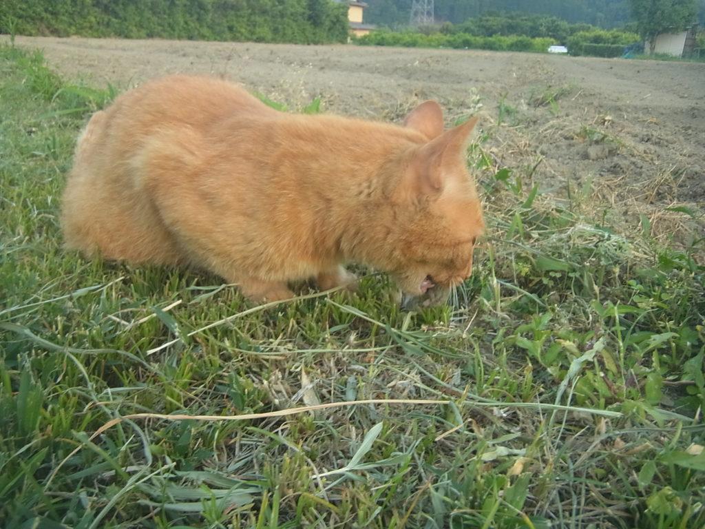 猫がネズミを捕まえてきて、食べる。
