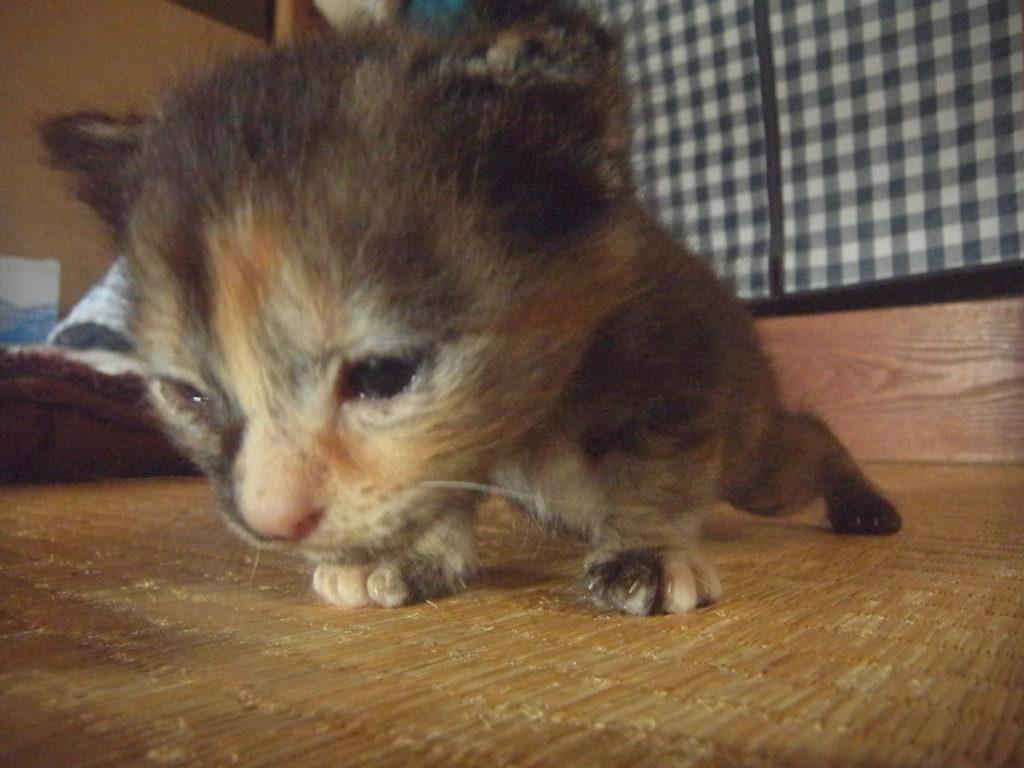 サビ猫の赤ちゃん。
