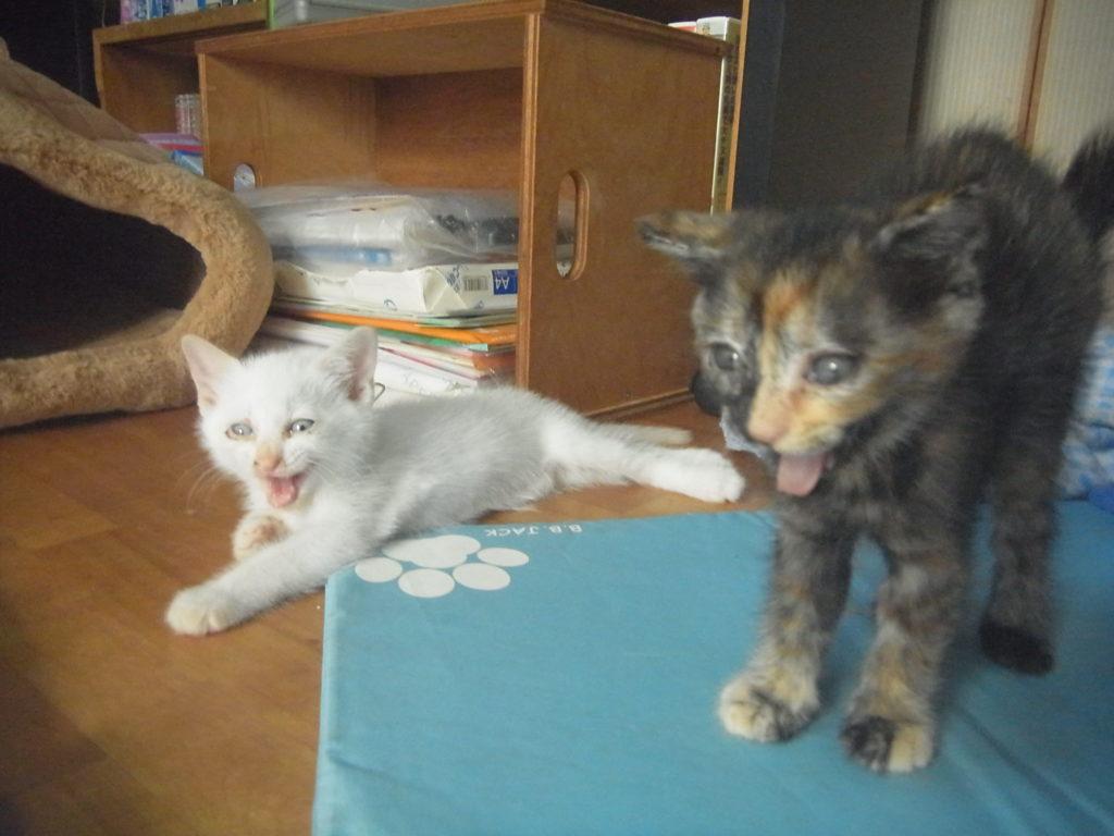サビ猫と白猫の赤ちゃん。