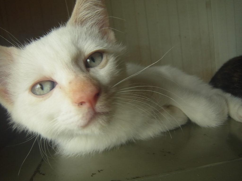 かわいい白猫ちゃん。
