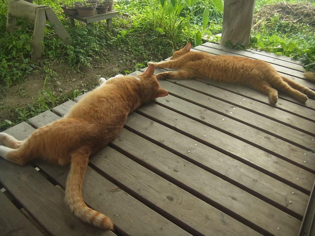 縁側でゴロンする猫2匹。